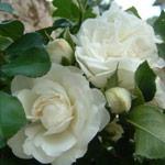 Il calderone magico maggio delle rose simboli e mito for Camelie bianche